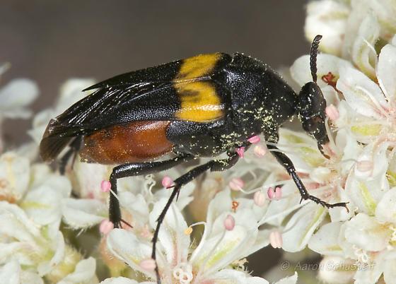 Female Macrosiagon 1 - Macrosiagon flavipennis - female