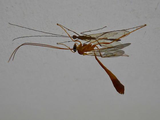 Night Braconid - Enicospilus guatemalensis - female