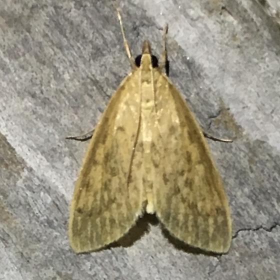 Crambidae - Crocidophora pustuliferalis