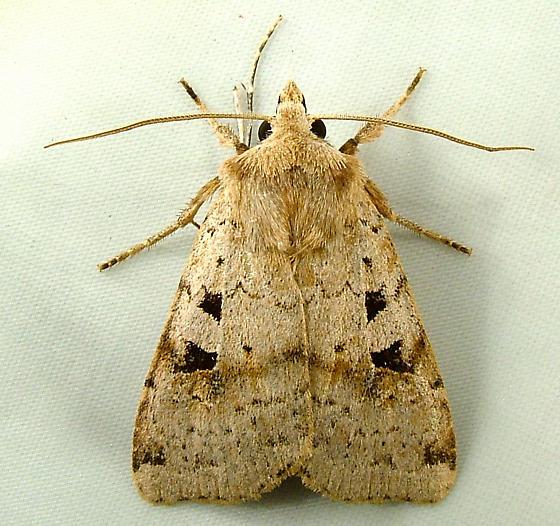 1993 Diarsia esurialis - no common name 10920 - Diarsia esurialis