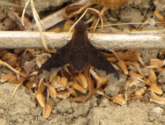 Bee Fly Hemipenthes? - Hemipenthes sinuosa