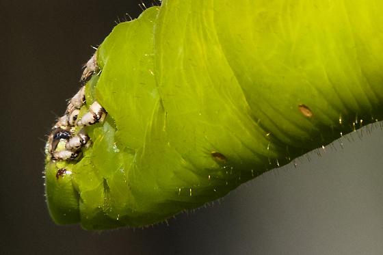 Very Large Caterpillar - Cocytius antaeus