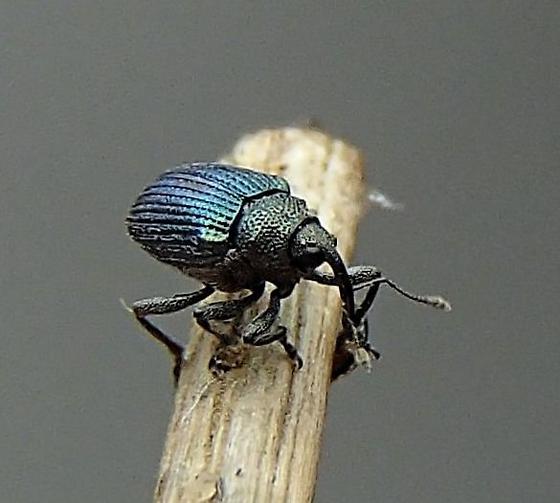 Ceutorhynchus erysimi? - Ceutorhynchus erysimi