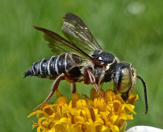 Cuckoo-leaf-cutter Bee - Coelioxys mexicanus - male