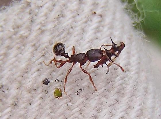 Ant vs Sinea nymph - Tetramorium immigrans