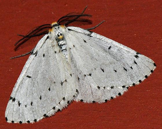 Mustache Moth - Cingilia catenaria