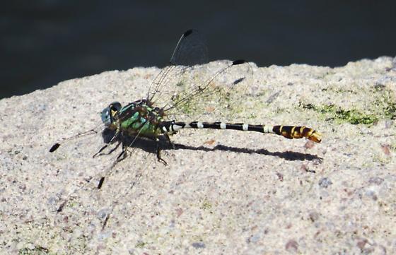 Erpetogomphus lampropeltis - Serpent Ringtai - Erpetogomphus lampropeltis
