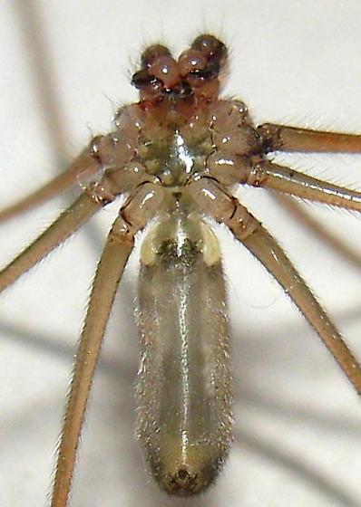 Longbodied Cellar Spider - Pholcus phalangioides - male