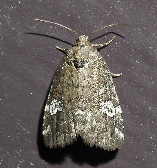 Anterastria teratophora - Gray Marvel - Hodges#9284 - Anterastria teratophora