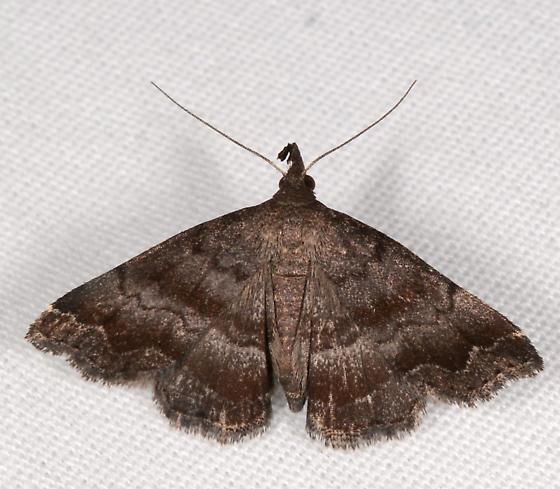 Phalaenostola larentioides