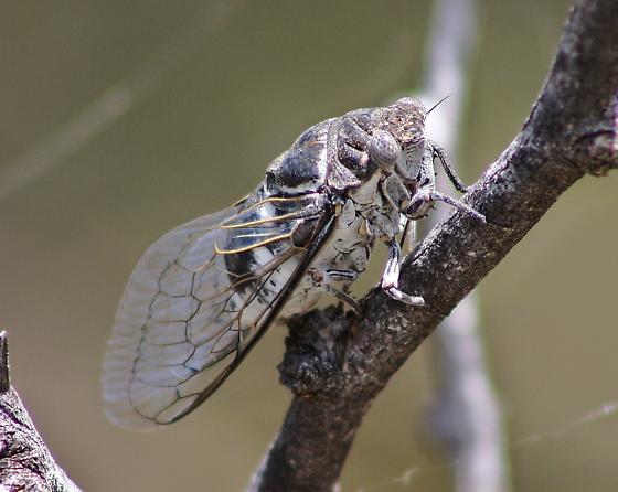 cicada, Cacama sp. - Cacama valvata