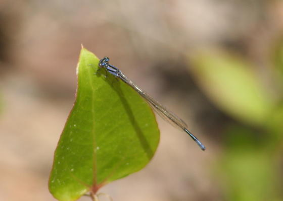 Turquoise bluet - Enallagma divagans - male