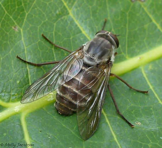 fly - Stonemyia rasa - female