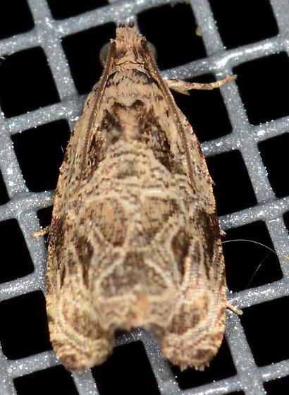 Olethreutes lacunana - Lacuna Moth - Olethreutes lacunana