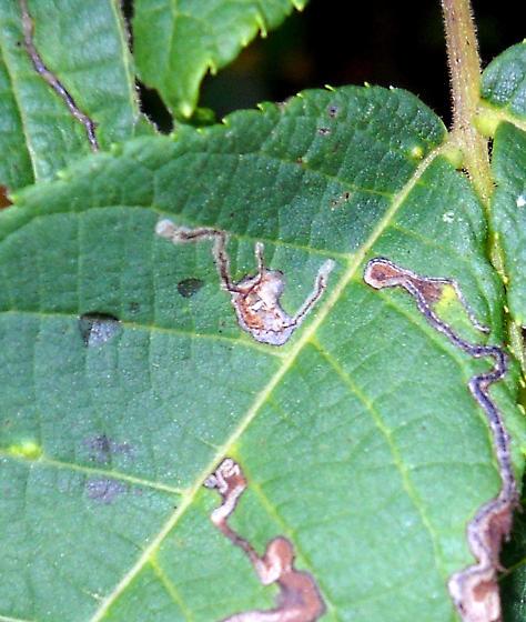 Black Walnut Leaf Mine ID Request - Stigmella juglandifoliella