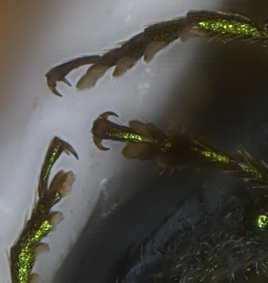 Anthaxia viridifrons - male