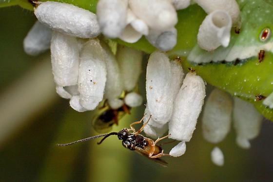 Newly Emerged Wasp - Cotesia congregata