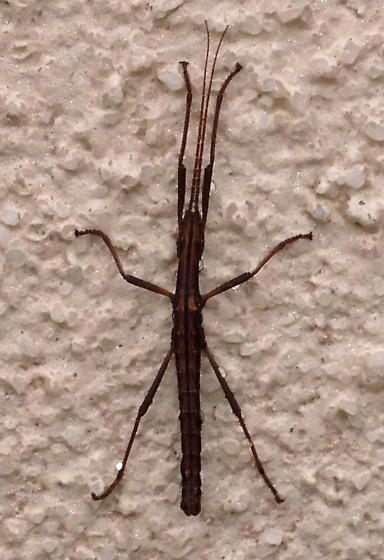 Two-striped Walkingstick - Anisomorpha