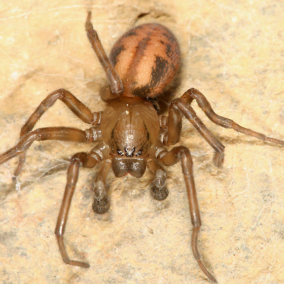 Hacklemesh Weaver - Callobius bennetti - male