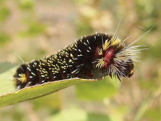 black, yellow and red caterpillar - Hypocrisias minima