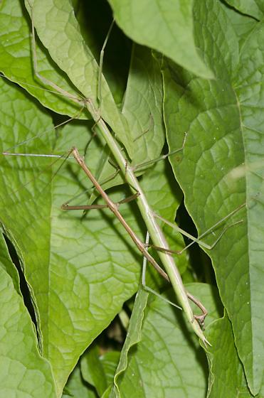 Mating Walkingsticks - male - female