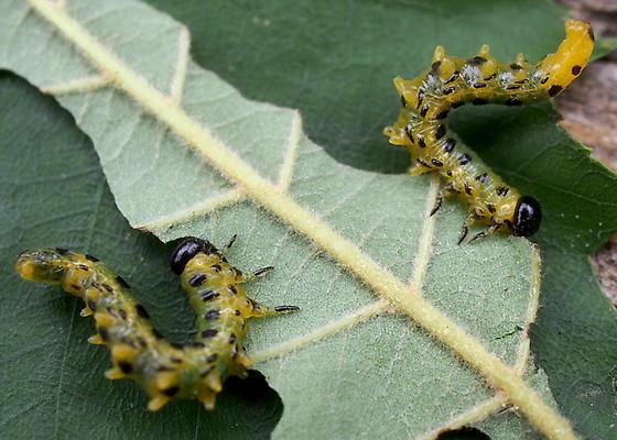 Caterpillars - Craesus latitarsus