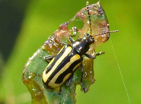? - Agasicles hygrophila