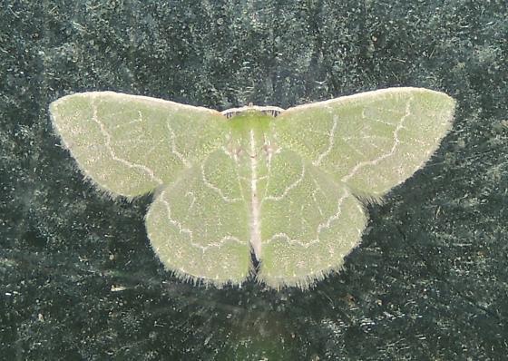 Emerald sp. - Synchlora aerata