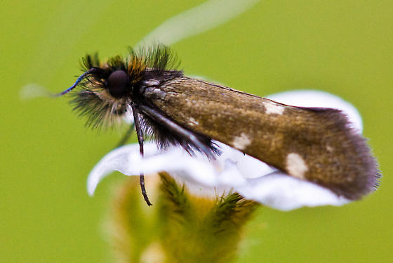 Adela Flammeusella from California - Adela flammeusella - male