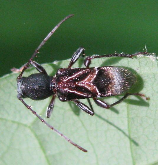 Ant-mimic longhorned beetle - Cyrtophorus verrucosus