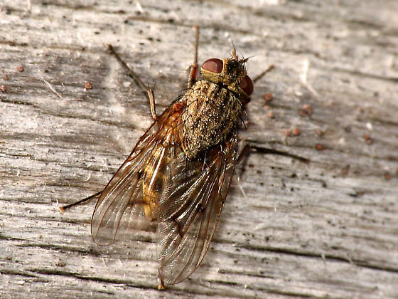 Muscid Fly - Phaonia ? - Phaonia