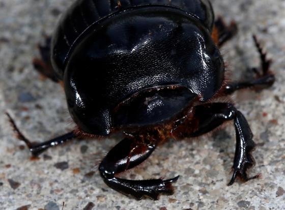 Beetle - Dichotomius carolinus