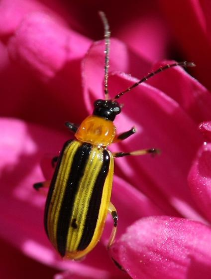 Striped Cucumber Beetle? - Acalymma vittatum