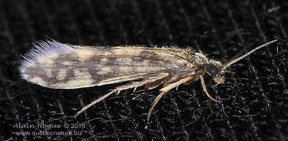 Agraylea sp.