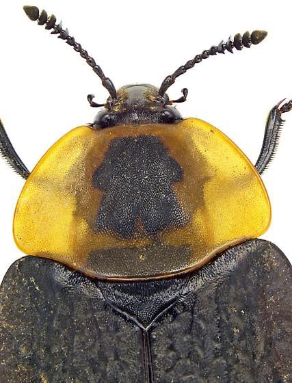 American Carrion Beetle? - Necrophila americana