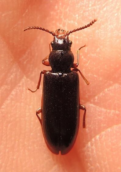 Woodland Beetle - Priognathus monilicornis