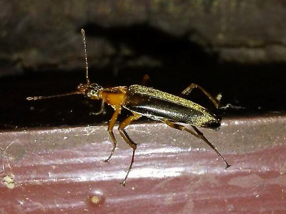 Cerambycidae? - Cephaloon