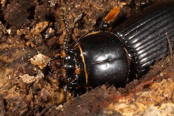 Possible Chigger mites - Odontotaenius disjunctus