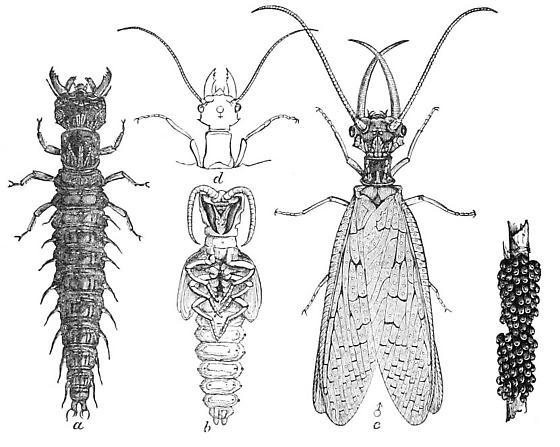 Eastern Dobsonfly life-cycle - Corydalus cornutus - male - female