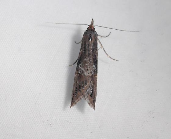 another one of these moths.. - Ellabella bayensis
