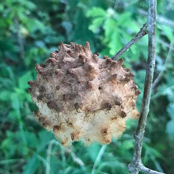 Gall on Oak Tree - Callirhytis seminator