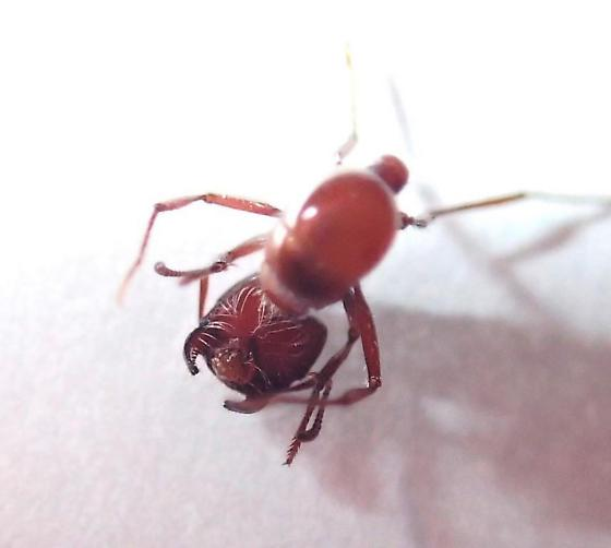 Unknown ant - harvester ant, fire ant?? - Pogonomyrmex