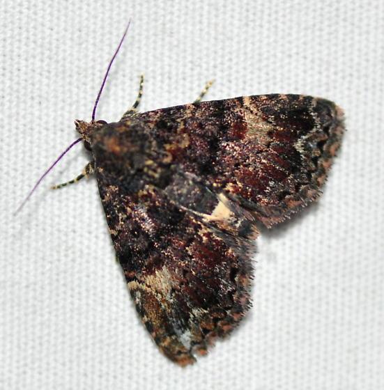 Richards' Fungus Moth, 8505 - Metalectra richardsi