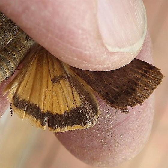 Noctuidae: Noctua comes - Noctua comes