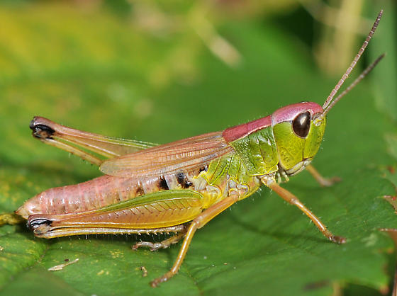 Colourful female Marsh Meadow Grasshopper - Chorthippus curtipennis - female