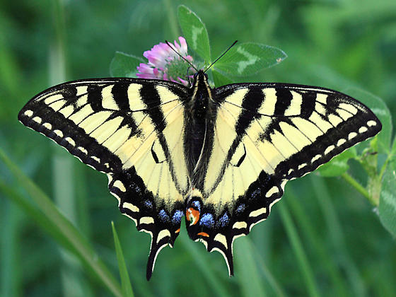 Canadian Tiger Swallowtail - Papilio canadensis - female