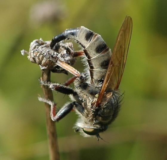 Robber Fly (1) - Promachus vertebratus - female