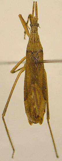 Reduviid - Pygolampis pectoralis