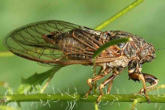 cicada - Okanagana balli