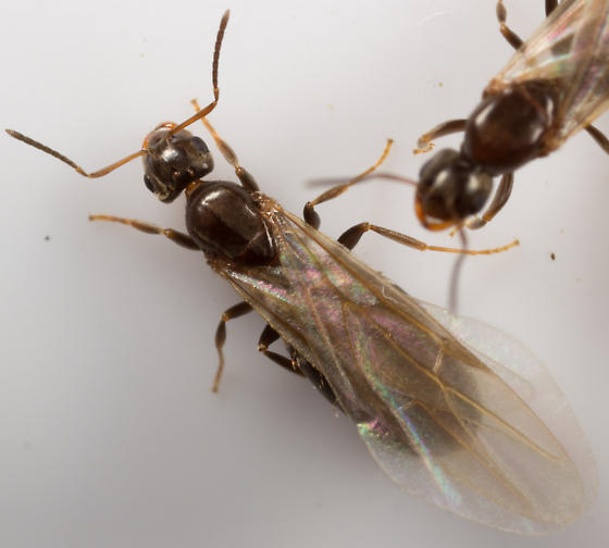 Queen ants with wings